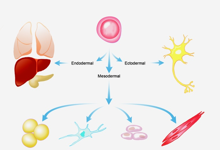 differentiation-of-stem-cell