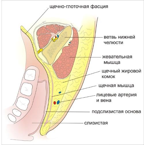 famm-anatomy_khirurgiya